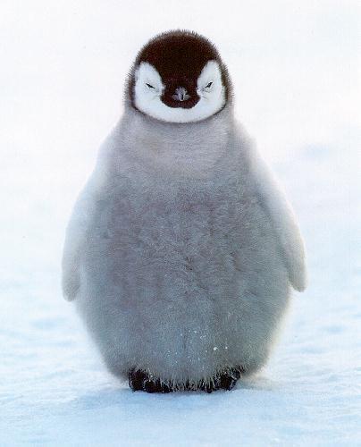 http://lizarrasmith.files.wordpress.com/2009/01/penguin-chick.jpg